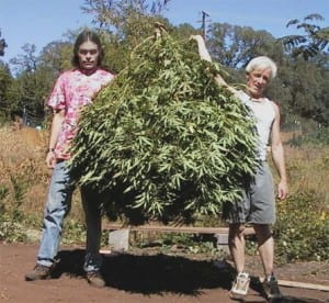 marijuana-harvesting-pictures-2